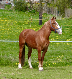 Amerikanische Belgier - Pferderasse